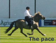 The pace is a lateral racing gait and horses reach speeds of up to 30 mph