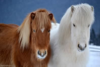 Horses at The Icelandic Horse Farm