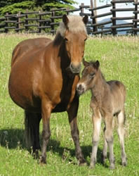 Iclandicmare and foal at the Icelandic Horse Farm